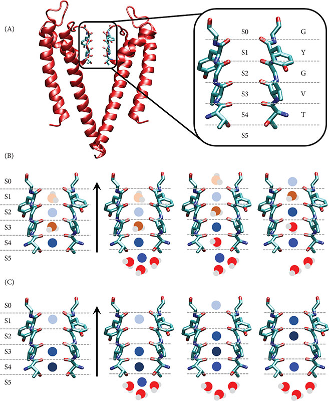 Ion Channel Permeation and Selectivity - Oxford Handbooks
